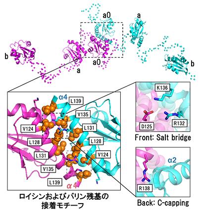 ジスルフィド結合の形成・開裂に関わる酵素の新たな二量体形成モチーフの発見と機能制御機構の解明(秋山修志教授ら)