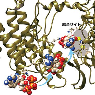 新型コロナウイルスの遺伝子を複製するタンパク質にレムデシビル、アビガンが取り込まれる過程を解明(奥村久士グループ)