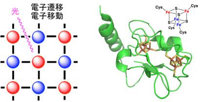 図1.(左)混合原子価化合物のイメージ。赤は還元状態、青は酸化状態を示す。物質の中では、このような構造が三次元的に広がっている。(右)フェレドキシン(4Fe-4S型)とその活性部位の構造。